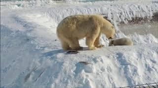 Зоопарк «Орто Дойду» (Республика Саха) впервые показал онлайн новорождённого белого медвежонка.