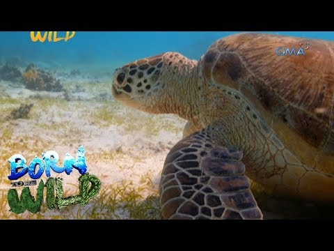 Born to Be Wild: Climate change threatens the survival of endangered green sea turtles