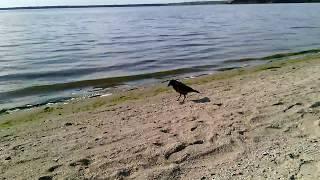 Подкармливаем чёрную ворону на берегу реки   кидаем ей маленькие кусочки белого хлеба