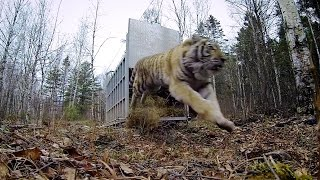 GoPro: Siberian Tiger Release - A Rare Sight