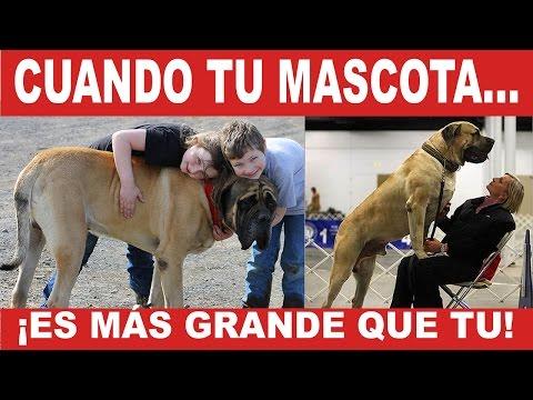 Éste perrito es más grande que su dueña | Tu Mascota TV