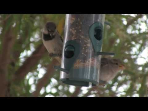 Bird Feeder Visitors in Chandler AZ