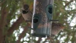 Bird Feeder Visitors in Chandler AZ
