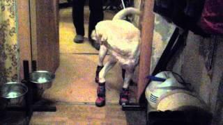 Ботинки для собаки. Жалуется папке.