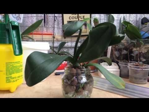 Один из способов посадки орхидеи Фаленопсис в керамзит