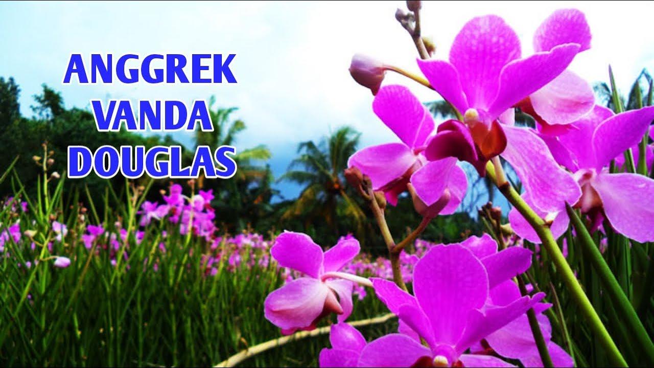 Anggrek Douglas godean.web.id