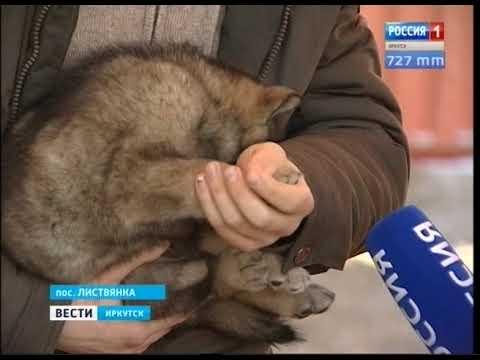 У волка и маламута родился щенок в зоопарке в Листвянке