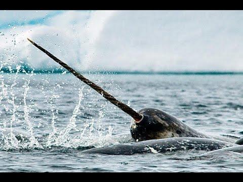 Monodontidae: Beluga whale, Narwhal / Нарваловые: Белуха, Нарвал
