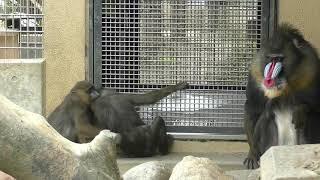 京都市動物園 の マンドリルファミリー 2019-02-16 【その②】 Mandrill thumbnail