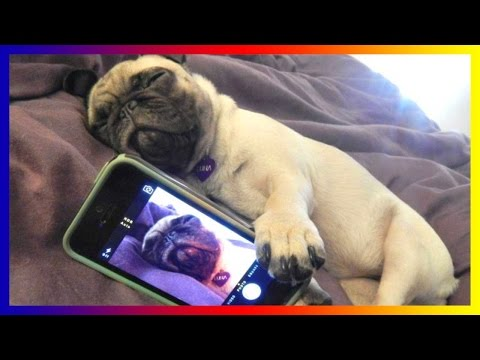Pug Dogs And Puppies - A Funny Videos And Cute Videos Compilation 2017