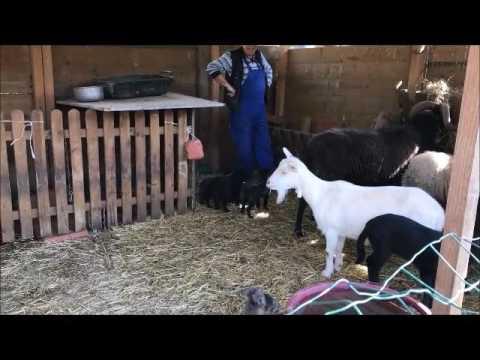 Domus Del Cane Da Pastore Delle Alpi Apuane Youtube