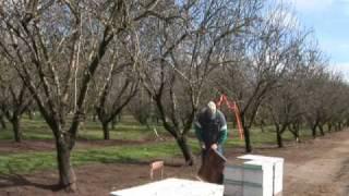 Abeilles: du bétail à miel dans les enclos des colonies humaines