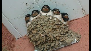 Ласточкино гнездо онлайн в Одессе. Swallow's Nest online in Odessa