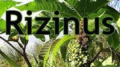 Die Giftpflanze des Jahres 2018: Der Rizinus