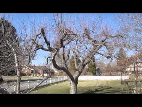 How to Prune Old Apple Trees  YouTube