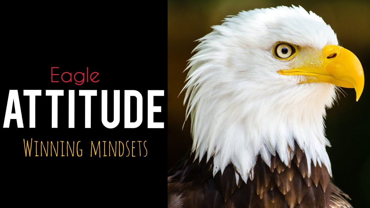 be an eagle   eagle winning attitude. #eagle #be_an_eagle #eagle _attitude