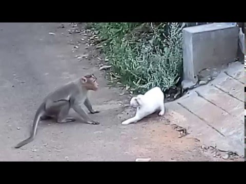 Cat vs. Monkey: Cat Attacked By Monkey In Real Fight | New Video 2015