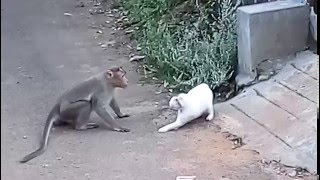 Cat Vs. Monkey Cat Attacked By Monkey  N Real Fight  New Video 2015