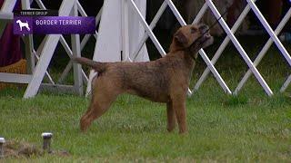 Border Terriers | Breed Judging 2021