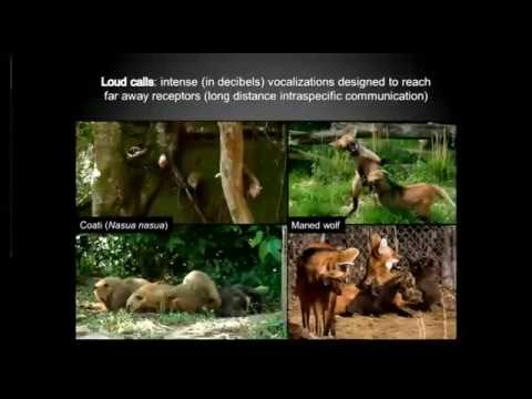 Bioacoustics As A Tool For Conservation Of Latin America Carnivores   The Maned Wolf And The Coati Z