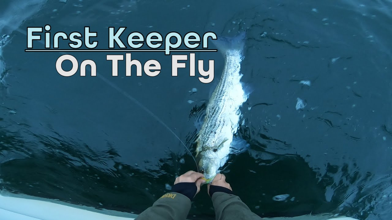 Keeper Striped Bass on the Fly! - Block Island Sound Fishing