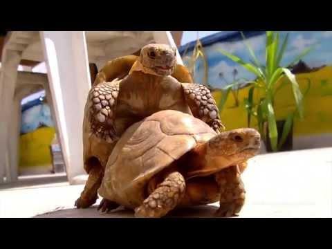 Mr & Mrs Turtle of Amman, Jordan