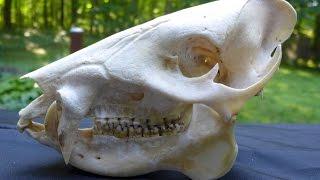 Skull detectives:  Understanding Mammal Skulls!