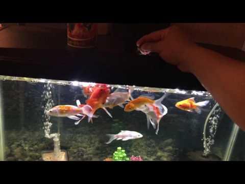 Koi Vs Goldfish Aquarium