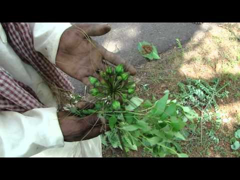Pankaj Oudhia's Healing Herbs: Revitalization Of Pancreas And Diabetes Management-cc6020c