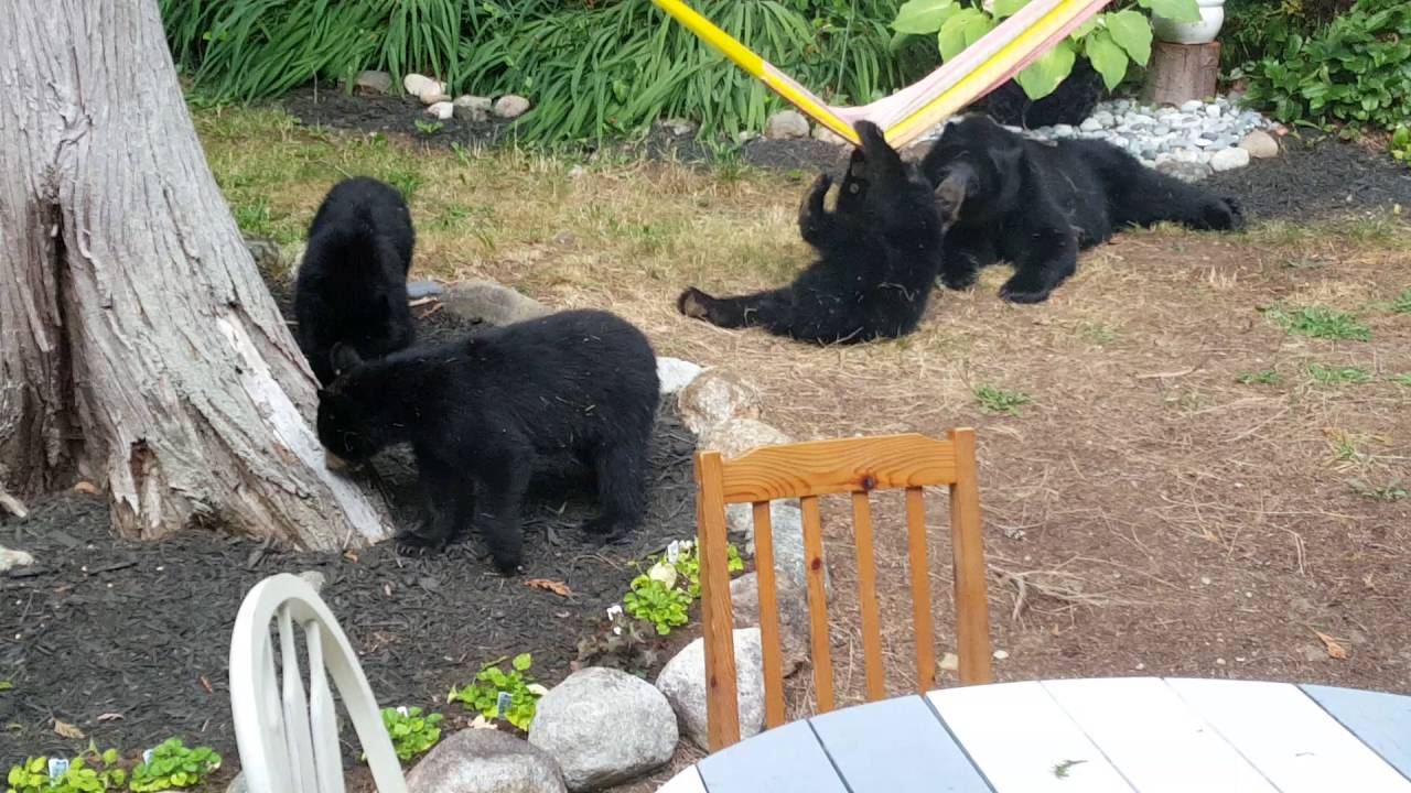 Raw: Family of black bears playing in backyard - YouTube
