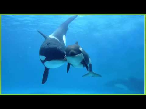 efeito sonoro, canto de baleia orca - sound effect, orca whale singing - 効果音、シャチのクジラの歌