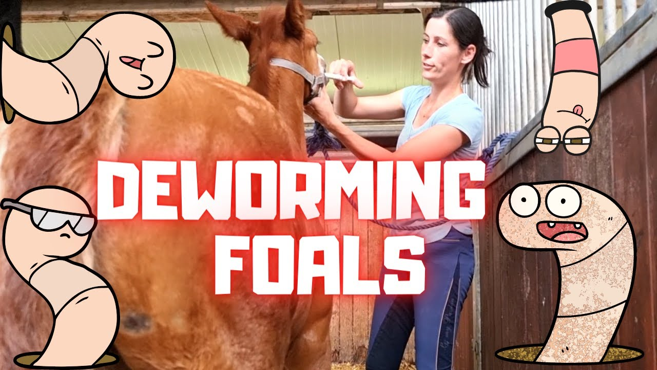 Foals must be dewormed. But how do you do that   Friesian Horses