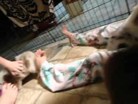 Australian Shepherd Puppies. CH Bloodlines! AKC /ASCA