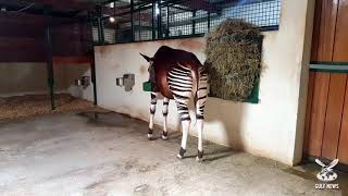 Rare Okapi birth in Sharjah