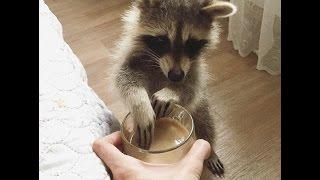 Популярный енот Тема  Star Raccoon Tema