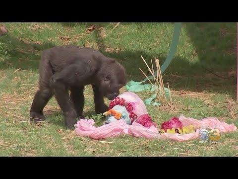 Philadelphia Zoo Celebrated 3rd Birthday Of Western Lowland Gorilla