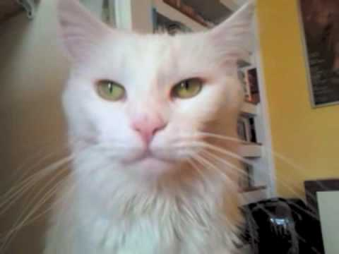 Biały Maine Coon White Maine Coon Cat Youtube