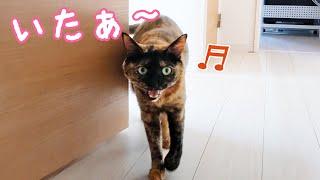 かくれんぼで一つ賢くなったサビ猫モモちゃん