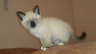 Сибирская- Невская маскарадная кошка...Про Ваську и про Йоську ❤