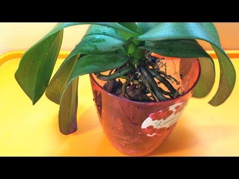 Как пересадить орхидею в домашних условиях пошаговое фото и видео