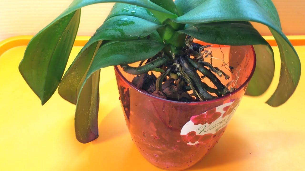 Орхидея Фаленопсис уход в домашних условиях легко и 62