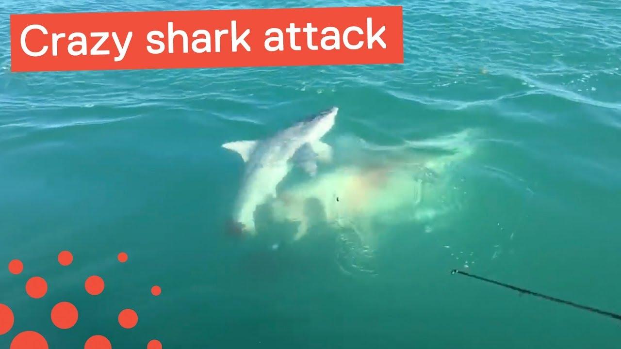 Shark Attacks Another Shark - Crazy Shark Footage