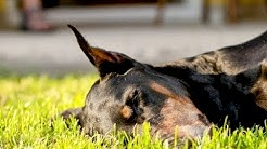 Schilddrüsenunterfunktion beim Hund: Symptome