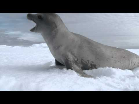 Crabeater seals playing on the sea ice. Antarctic peninsula. www.jonathan-zaccaria.com
