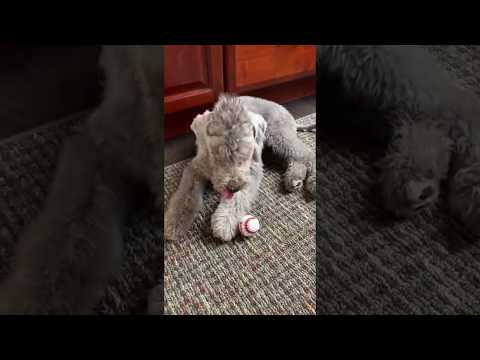 bedlington terrier puppy playing 2
