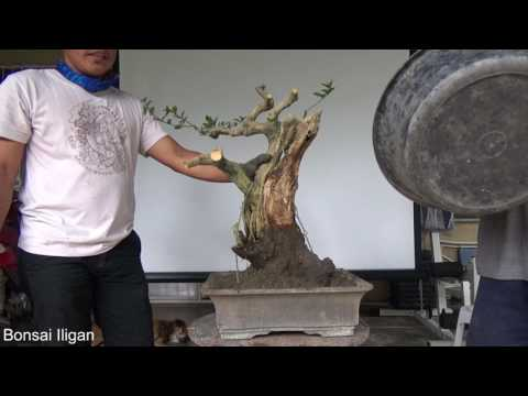 A Day in the Life of Bonsai Iligan: Tanuki Workshop Demo