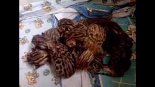 Новорожденные котята Ашера,Савана, Бенгальские