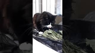 Норвежский лесной кот Silvester On Fashion Peak