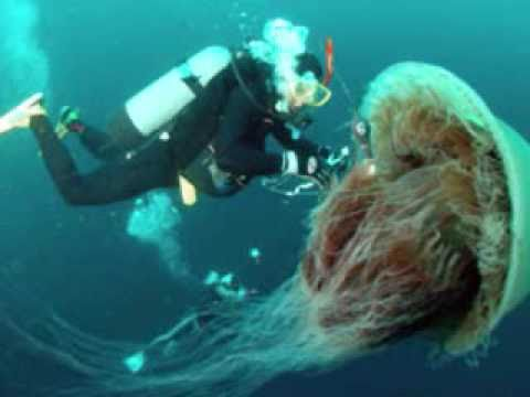 Japanese: Fishermen brace for Giant Jellyfish - YouTubeJapanese Giant Jellyfish