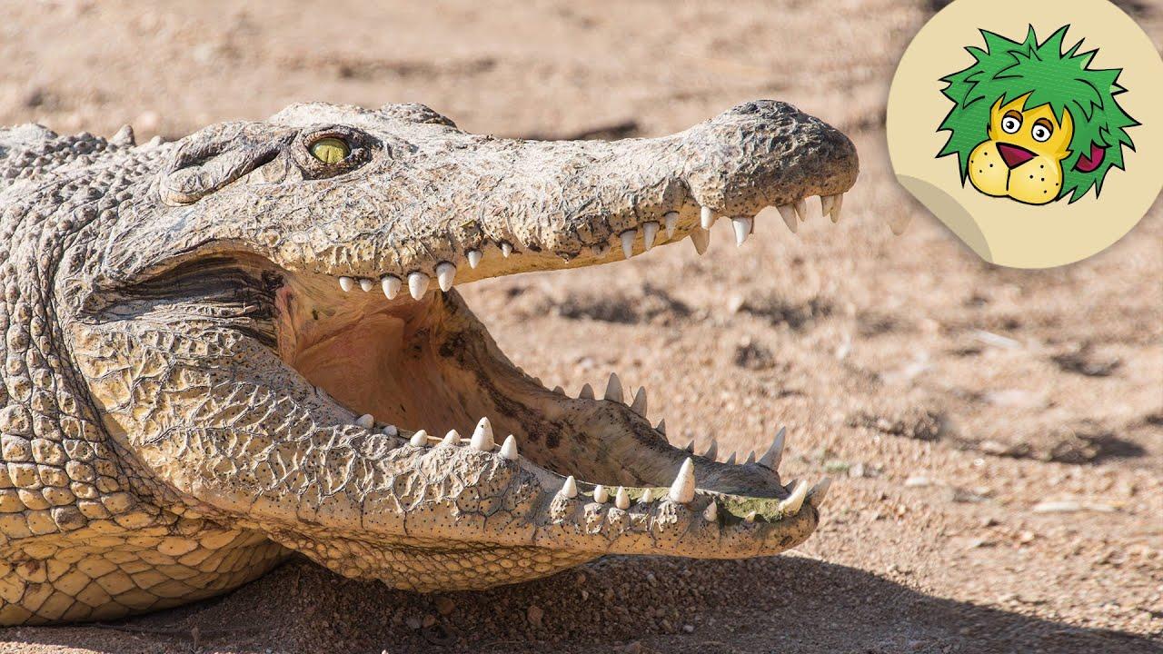 Krokodile Kalt Erwischt Oli S Wilde Welt Swr Kindernetz Youtube